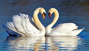 Relationship Therapy. Swans
